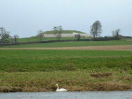 Mute swan on the river boyne at New Grange - Background Wallpaper